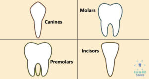 Four types of teeth and their functions in your mouth
